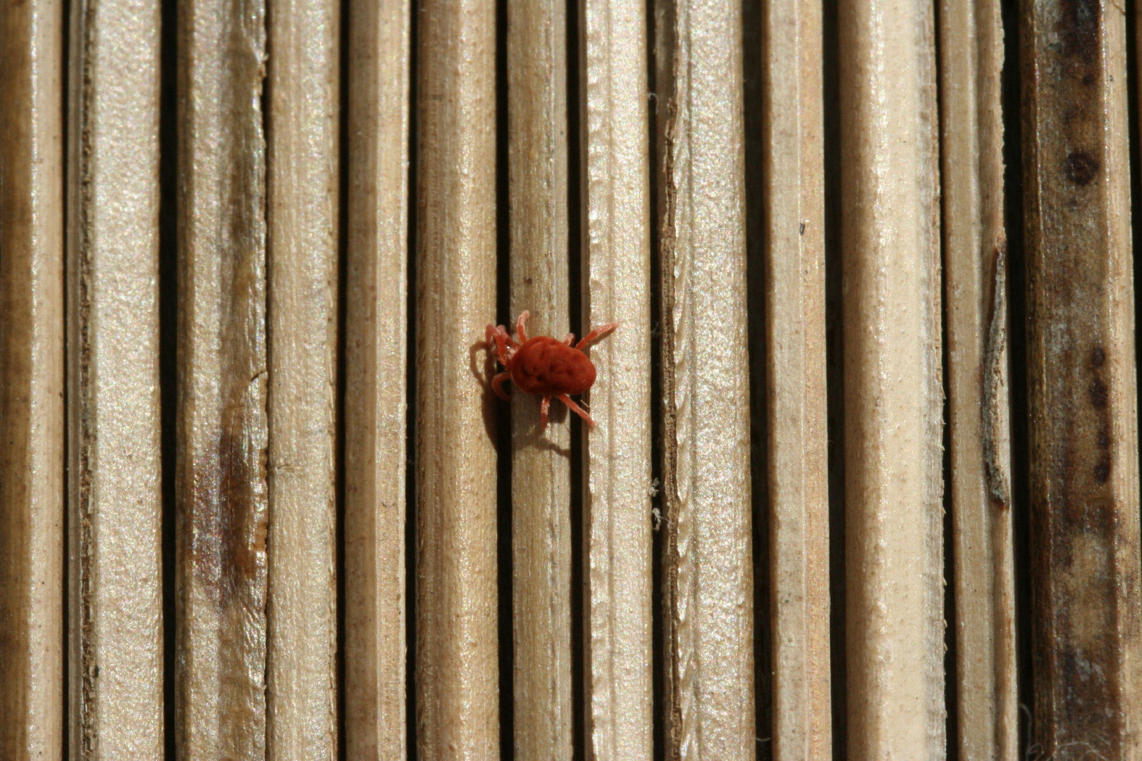 -Eutrombidium rostratus-, long. 2 à 3mm (Trombidiidae)