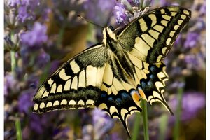 Le Machaon ou grand porte queue -Papilio machaon (Papilionidae)