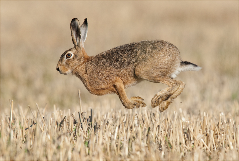 Lièvre variable -Lepus timidus- (Leporidae)