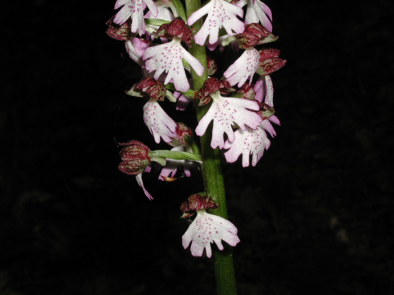 Orchis hybride