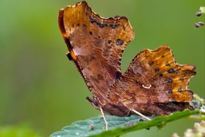 Robert le diable - Polygonia C-album - (Nymphalidae)
